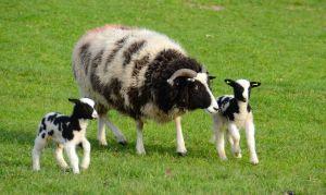 Lambs 010